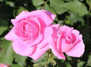 フロリックの花色は明るいローズピンク色です