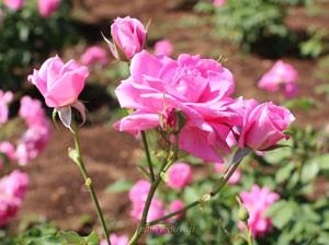 フロリックは丸弁平咲きの中輪花を咲かせます
