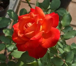 フリュイテの花色はオレンジ色と赤色のグラデーション