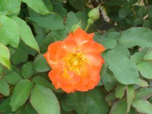 ふれ太鼓は黄色とオレンジ色の花色です