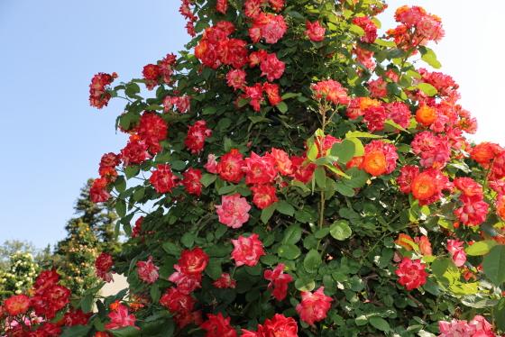 ふれ太鼓の花形は半剣弁高芯咲きです