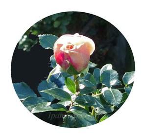 ガーデン・オブ・ローゼズ バラ