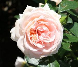 ガーデンオブローゼズはロゼット咲きでボリュームがある