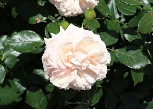 ガーデンオブローゼズの見事なロゼット咲き