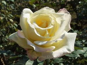 ガーデンパーティはハイブリッドティー系統のバラ