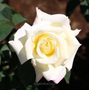 ガーデンパーティはコンテスト用のバラとして人気がある