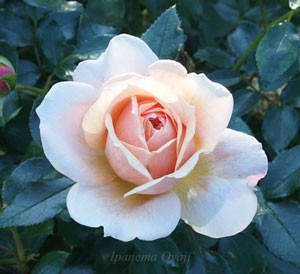 ガーデンオブローゼズの花弁数は41枚以上のボリュームがある