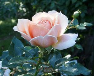 花つき花もちがよい花弁
