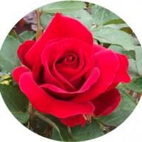 がルテンツァーバァ84 バラ