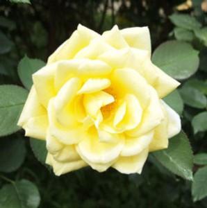 月光の花色は鮮明な黄色の花を咲かせる