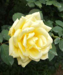 月光は剣弁高芯咲きで四季咲き性のバラ