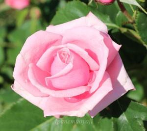 ジーン・ブーナーの花径は中輪サイズ