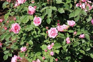 ジーン・ブーナーは四季咲き性