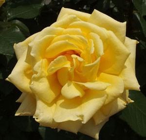 ジーナ・ロロブリジーダは見事にクスミの無い花色です