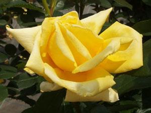 ジーナロロブリジーダは1輪咲きです