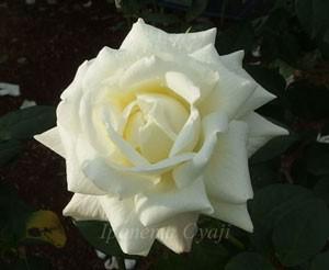 銀嶺の花形は半剣弁高芯咲きだがこの花は完璧な剣弁ですね