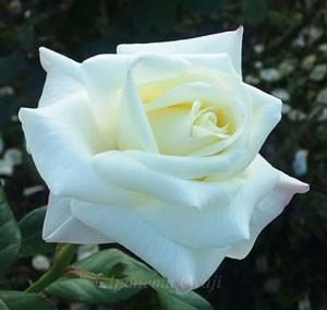 銀嶺はフロリバンダ系統のバラ