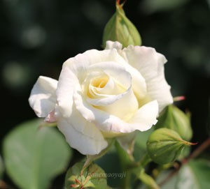 数輪の房咲きになり、花もちはあまりよくない品種