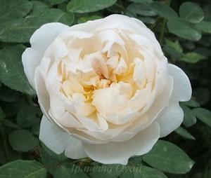 グラミスキャッスルはピュアホワイト色のカップ咲き