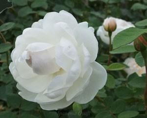 グラミスキャッスルはオールドローズの性質を持った現代バラです