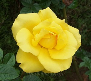 ゴールド・リーフは四季咲き性です