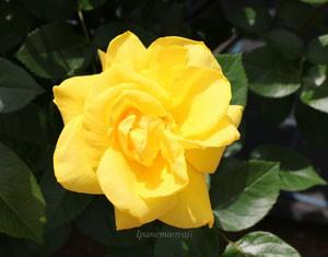 ゴールド・リーフは黄色系のバラです