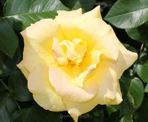 ゴールド・リーフの花径は12cm程