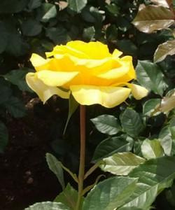 ゴールデン・フラッシュは花枝が長く真っ直ぐですね「