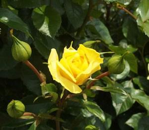 ゴールデン・フラッシュの花形は半剣弁高芯咲きです