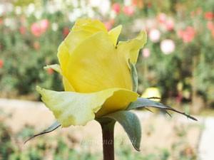 ゴールデン・メダイヨンは四季咲き性です