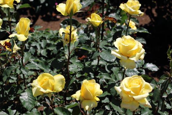 ゴールデン・メダイヨンの花枝は長く切り花に向いている
