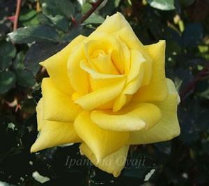 ゴールデン・セプターの花形は剣弁高芯咲き