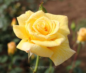 ゴールデン・セプターの花径は約10cmです