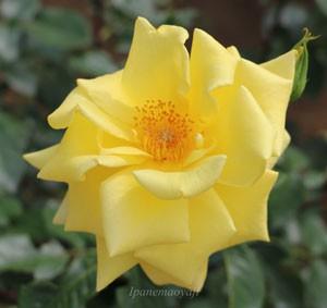ゴールデン・セプターは四季咲き性です