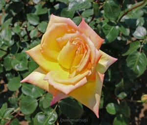 ゴールドクローネの花径は11cm以上の大輪です