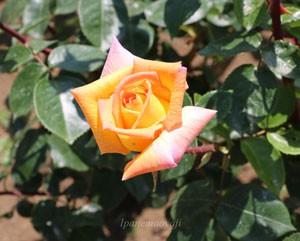 ゴールドクローネは四季咲き性です