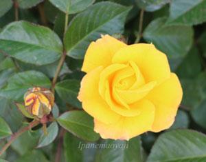 ゴールドマリー'84の花径は8cmの中輪