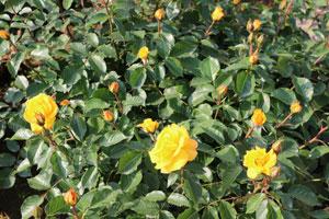 ゴールドマリー'84は四季咲き性です