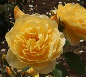 グラハム・トーマスはカップ咲きの中大輪花