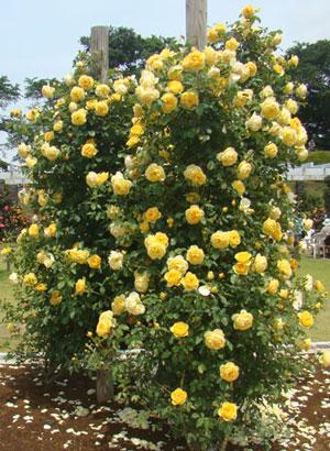 グラハム・トーマスはシュラブ樹形です
