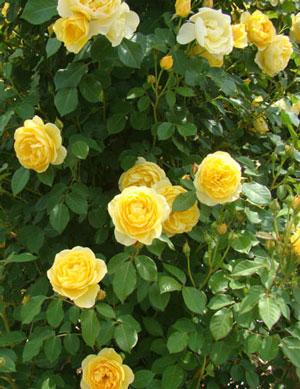 グラハム・トーマズは3~5凛の房咲きになる