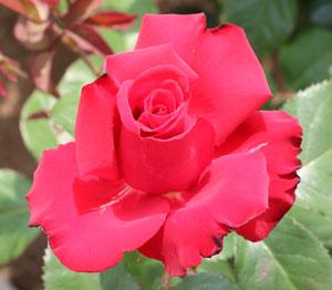 グランデ・アモーレはコルデス作出のバラ