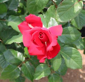 グランデ・アモーレは剣弁高芯咲きです