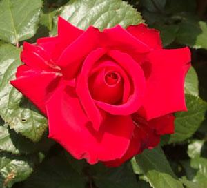 グランデ・アモーレは大輪咲きの赤色バラ