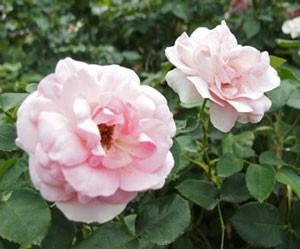 ギィドゥモーパッサンはロゼット咲きになります