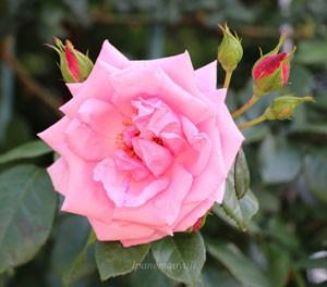 羽衣は大輪咲きつるバラ品種です