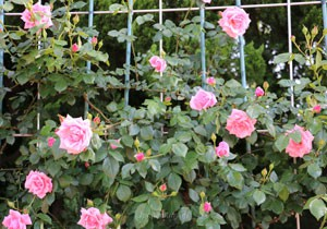 羽衣の花形は剣弁高芯咲きです
