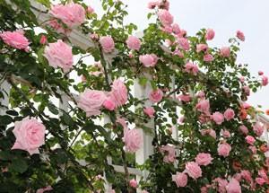 羽衣はくすみの無いピンク色の花色です