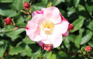 花霞は半八重の平咲き