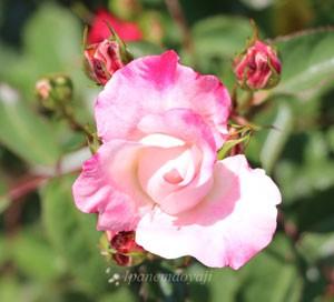 花霞は淡い桃色で弁端にローズ色の覆輪